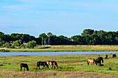 Horses on pasture at Kloster, Hiddensee, Rügen, Baltic Sea Coast, Mecklenburg-Vorpommern, Germany