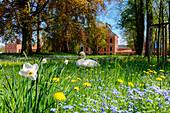 Flower meadow with swan in front of Bothmer Castle, Klütz, Ostseeküste, Mecklenburg-Western Pomerania, Germany