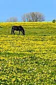 Horses on a flower meadow, Insel Poel, Ostseeküste, Mecklenburg-Vorpommern, Germany