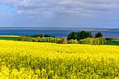 View of Salzhaff and rape fields, Rerik, Baltic Sea coast, Mecklenburg-Western Pomerania Germany