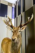 Exhibition stuffed deer in the hunting lodge Granitz, Rügen, Baltic Sea coast, Mecklenburg-Vorpommern, Germany