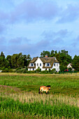 Pony on the pasture, Vitte, Hiddensee, Rügen, Ostseeküste, Mecklenburg-Vorpommern, Germany