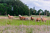 Horses on paddock on the island Ummanz, Ostseeküste, Mecklenburg-Western Pomerania Germany