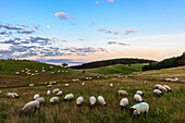 Landscape with sheep and moon, Zickerschen Alps, Moenchgut, Rügen, Ostseeküste, Mecklenburg-Western Pomerania, Germany