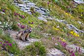 Marmot in the Alps, Austria, Europe