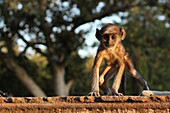 Monkey at the temple of Mandore, Rajasthan, India, Asia