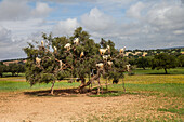 Goats on trees, Morocco, Africa
