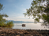 A dog splashing in the Chiemsee, Chieming, Upper Bavaria, Germany