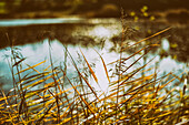 Reed in late autumn at a pond, Bad Kohlgrub, Upper Bavaria, Germany