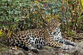 An adult female jaguar (Panthera onca), resting on the riverbank, Rio Negro, Mato Grosso, Brazil, South America