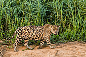 An adult male jaguar (Panthera onca), on the riverbank of the Rio Cuiaba, Mato Grosso, Brazil, South America