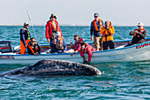 Adult California gray whale (Eschritius robustus), with tourists in San Ignacio Lagoon, Baja California Sur, Mexico, North America