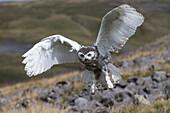Snowy owl (Bubo scandiacus) juvenile in flight, captive, Cumbria, England, United Kingdom, Europe