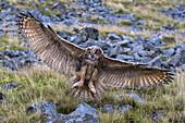 European (Eurasian) eagle owl (Bubo bubo) juvenile in flight, captive, Cumbria, England, United Kingdom, Europe