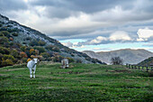 Cow in the fields, Apennines, Umbria, Italy, Europe