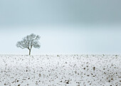 Lonely tree, winter snow scene, Aldbury, Hertfordshire, England, United Kingdom, Europe