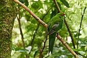 A friendly Red-crowned parakeet in thick bush near Otorohanga, Waikato region, North Island, New Zealand, Pacific