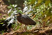 A young White-faced Egret strolls through woodland near Auckland, North Island, New Zealand, Pacific