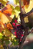 Weinstock mit reifen Reben in einem Weinanbaugebiet nahe Mildura, Mildura, Victoria, Australien
