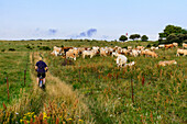 Herd of cows and cyclists in front of lighthouse Dornbusch, Hiddensee, Ruegen, Baltic Sea coast, Mecklenburg-Vorpommern, Germany