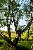 Vegetation near Neuendorf, Hiddensee, Ruegen, Ostseekueste, Mecklenburg-Vorpommern, Germany
