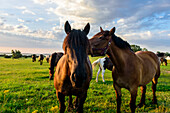 Horses in the pasture in the village of Grieben, Hiddensee, Ruegen, Ostseekueste, Mecklenburg-Vorpommern, Germany
