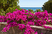 Flowering Bougainvillea at Costa Teguise, Atlantic Ocean, Lanzarote, Canary Islands, Islas Canarias, Spain, Europe