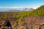 Canarian pine forest at the volcano Chinyero and view towards La Palma, Parque Nacional del Teide, Natural Heritage of the World, Tenerife, Canary Islands, Islas Canarias, Spain, Europe