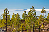 Canarian pine forest at the volcano Chinyero and view towards La Gomera und Hiero, Parque Nacional del Teide, Natural Heritage of the World, Tenerife, Canary Islands, Islas Canarias, Spain, Europe