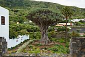 El Drago Milenario at Icod de los Vinos, Tenerife, Canary Islands, Islas Canarias, Atlantic Ocean, Spain, Europe