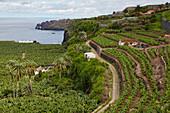 Plantation of bananas near Icod de los Vinos, Tenerife, Canary Islands, Islas Canarias, Atlantic Ocean, Spain, Europe