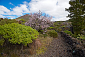 Blossom of almond trees at Las Manchas near Santiago del Teide, Teno mountains, Tenerife, Canary Islands, Islas Canarias, Atlantic Ocean, Spain, Europe