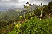 View across luxuriant vegetation near El Bailadero at San Andres, Anaga mountains, Tenerife, Canary Islands, Islas Canarias, Atlantic Ocean, Spain, Europe