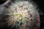 Close-up of open hands holding a dandelion with seeds.