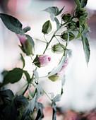 Pink roses. Soft focus.