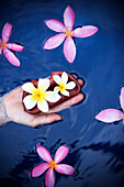 A female hand holding the tropical flowers Plumeria (common name Frangipani),  floating in water, on the island of Maui, Hawaii.
