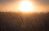 The sun rises over a field of marsh cattails in winter outside the small community of Hillsborough, New Brunswick.