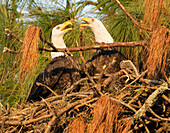 Bald eagles (Haliaeetus leucocephalus) engaging in courtship in nest, Holiday, Florida, USA