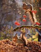 Two red squirrels feeding on berries beside pile of fallen leaves, Bispgarden, Jamtland, Sweden
