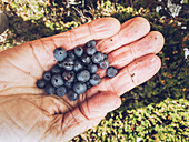 Hand of woman holding freshly picked blueberries, Whistler, British Columbia, Canada