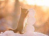 Red squirrel making miniature snowman, Bispgarden, Jamtland, Sweden