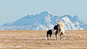 two icelandic horses playing in front of the mountain scenery, southcoast, Iceland