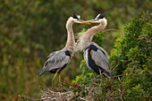 Great Blue Herons (Ardea herodias), the largest North American heron, standing in the nest, United States of America, North America