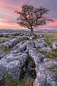 Limestone pavement and lone hawthorn tree at Winskill Stones Nature Reserve, Malhamdale, Yorkshire Dales, Yorkshire, England, United Kingdom, Europe