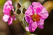 Beinwellblättrigeblättrige Zistrose, lat. Cistus symphytifolius, endemische Pflanze, Endemit, UNESCO Biosphärenreservat, La Palma, Kanarische Inseln, Spanien, Europa