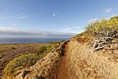 Wanderweg, Wanderung zu den Dragos Salvatierra, Drachenbäume, bei Santo Domingo de Garafia, UNESCO Biosphärenreservat, La Palma, Kanarische Inseln, Spanien, Europa