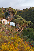 cottage at Dragos Salvatierra, dragon trees, lat. Dracaena draco, near Santo Domingo de Garafia, UNESCO Biosphere Reserve, La Palma, Canary Islands, Spain, Europe