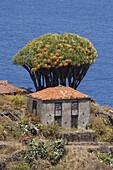 Dragon trees, lat. Dracaena draco, cottage, El Tablado, north coast, Atlantic, UNESCO Biosphere Reserve, La Palma, Canary Islands, Spain, Europe