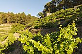vineyards, historic wine press, El Castillo, Garafia region, UNESCO Biosphere Reserve, La Palma, Canary Islands, Spain, Europe