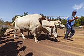 Arrastre de Ganado, competition in hauling loads, livestock fair in San Antonio del Monte, Garafia region, UNESCO Biosphere Reserve, La Palma, Canary Islands, Spain, Europe